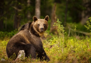 Close up of Eurasian brown bear male sitting in the forest