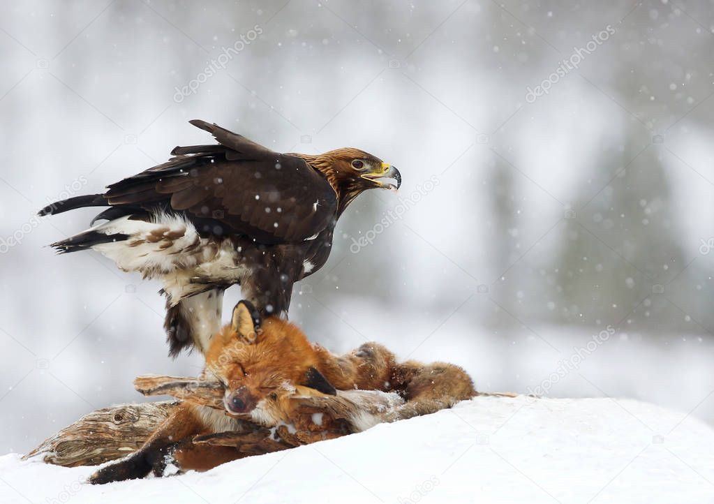 Golden Eagle feeding on a Red Fox in winter