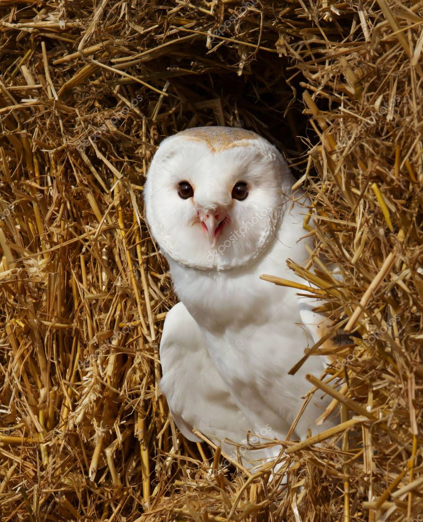 Close up of a Barn owl in a farm