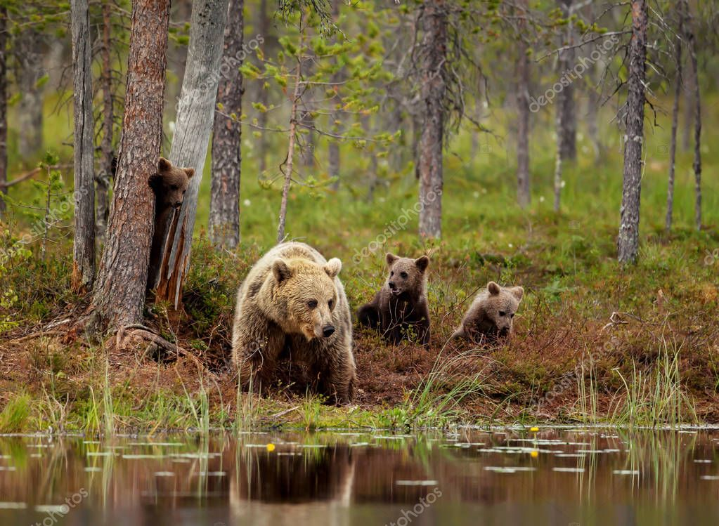 Eurasian brown bear cubs playing with a mom by the pond