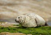 Common seal (Phoca vitulina) on the coast