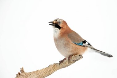 Eurasian Jay perched on a tree branch in winter