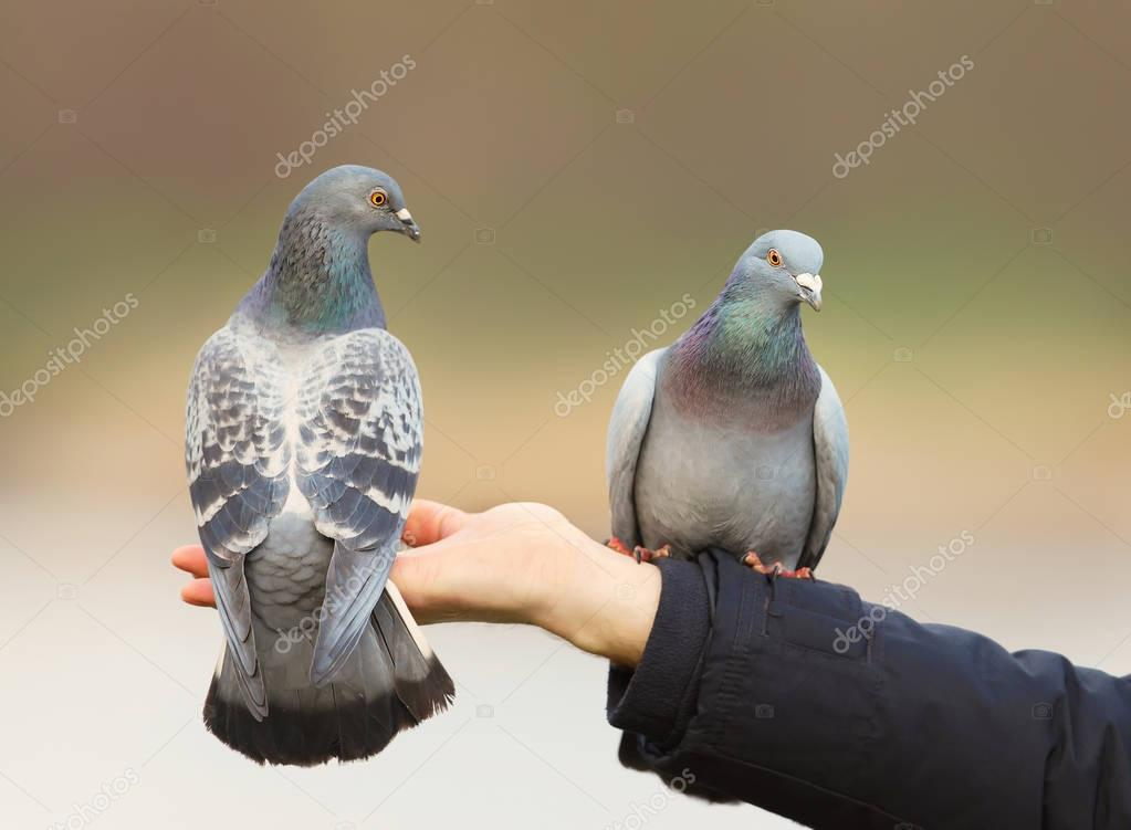 Close up of two Feral pigeons perching on a hand