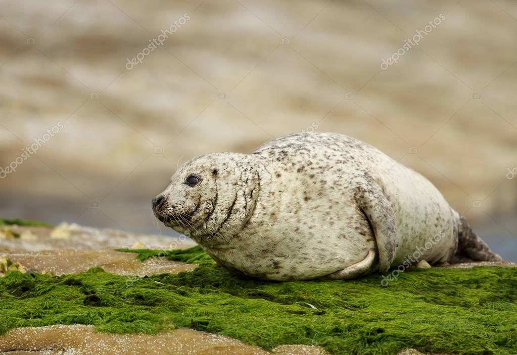 Common seal (Phoca vitulina) on the coast
