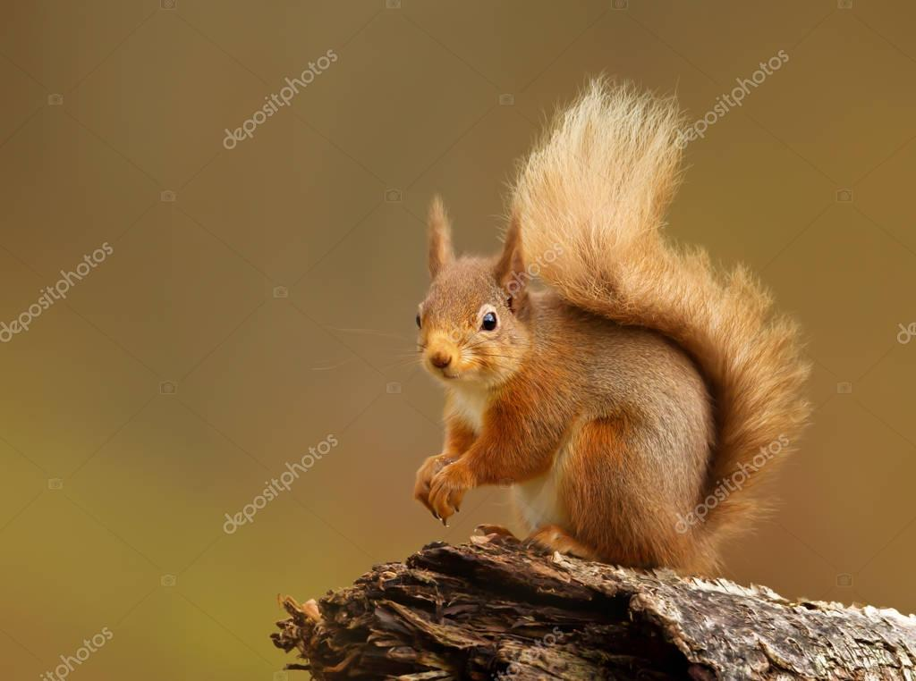 Portrait of a red squirrel sitting on a log