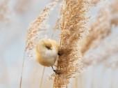 Bearded tit feeding on the reeds