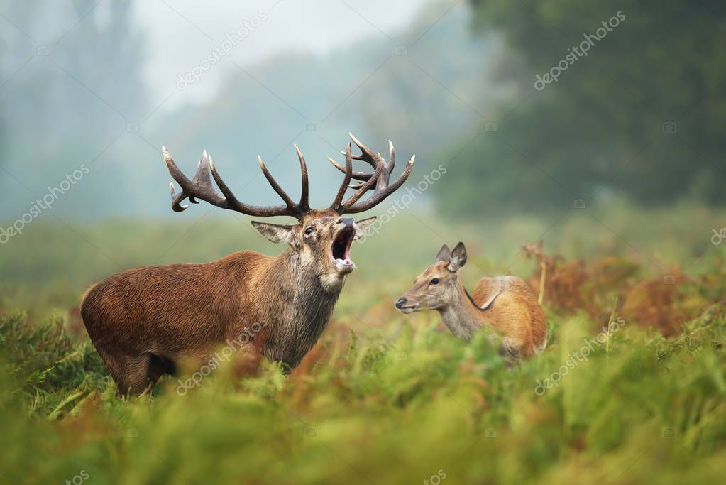 Close-up of a Red deer roaring next to a hind