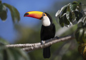Photo Close up of a Toco Toucan perched in a tree