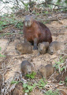 Close up of Capybara mother with five babies