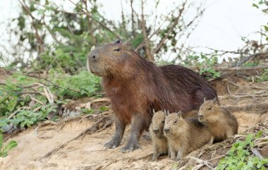 Capybara mother with thee pups