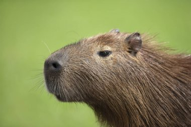 Close up of Capybara against green background
