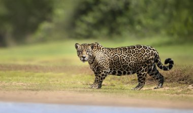 Close up of a Jaguar walking near river