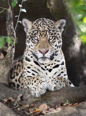 Close up of a Jaguar lying on a tree