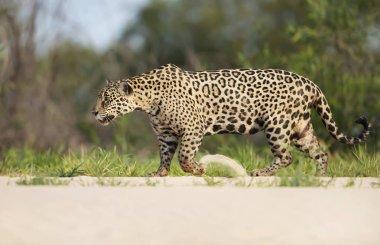 Jaguar walking along the river bank