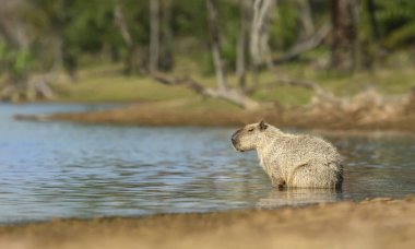 Close up of a Capybara sitting in water