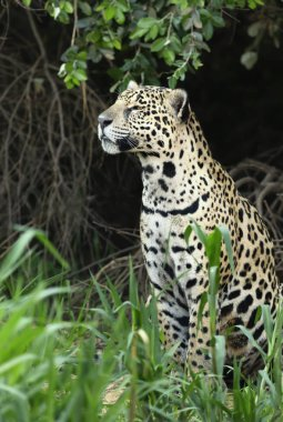 Close up of a Jaguar on a river bank