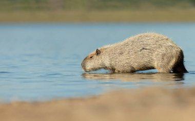 Close up of a Capybara on a river bank, South Pantanal, Brazil.