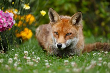 Close up of a red fox (Vulpes vulpes) lying in the back garden with flowers, UK. stock vector
