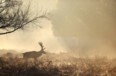 Close up of a Red deer walking at sunrise, UK. stock vector