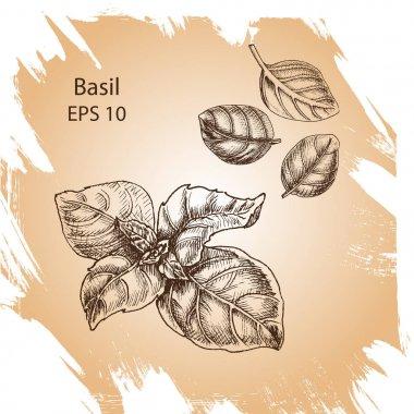 Vector background sketch Basil.