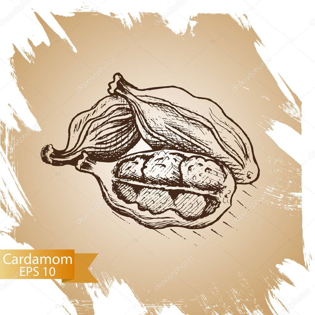 Cardamom vector illustration. Culinary seasoning. Cooking Spice made in hand drawn sketch style.