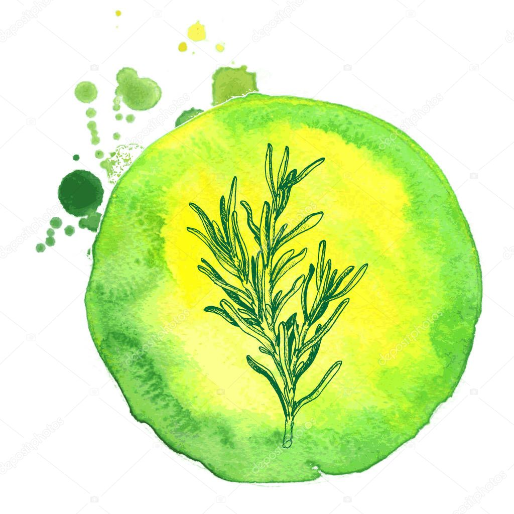 Hand drawn rosemary branch with leaves isolated on white. Hand drawn spicy herbs. Doodle cooking ingredient for design. Hand drawn seasoning.