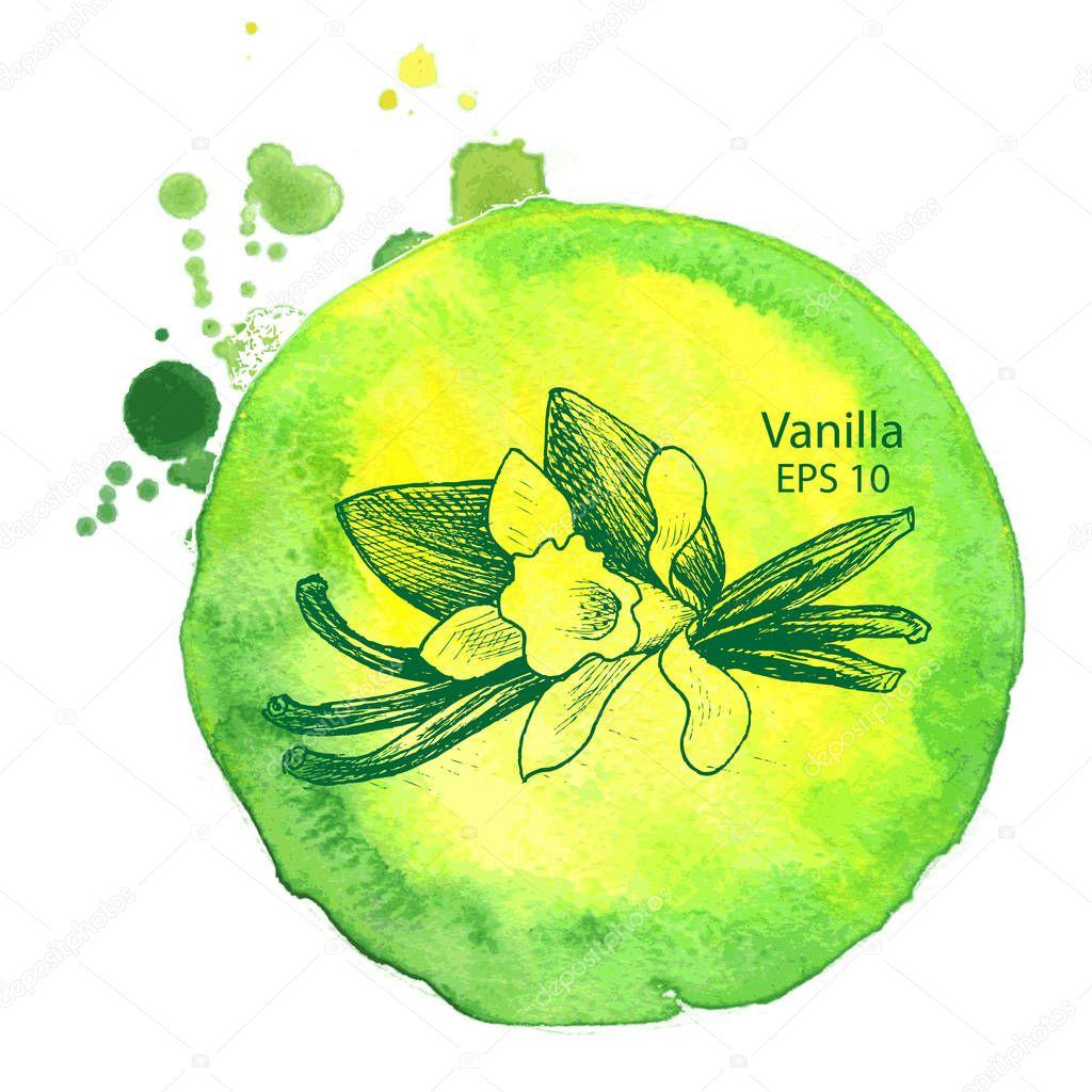 Vector background sketch spices. Illustration vanilla.
