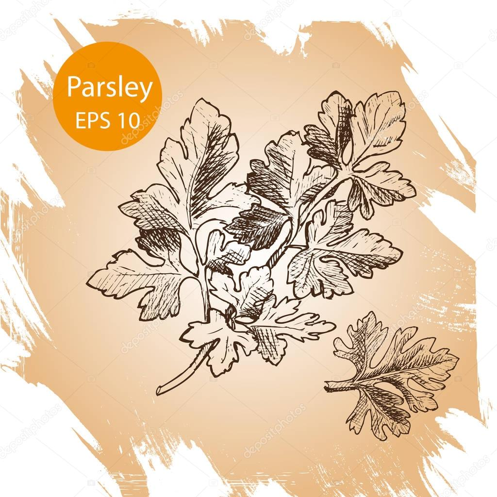 Vector background, sketch the herbs and spice. Illustration of coriander.