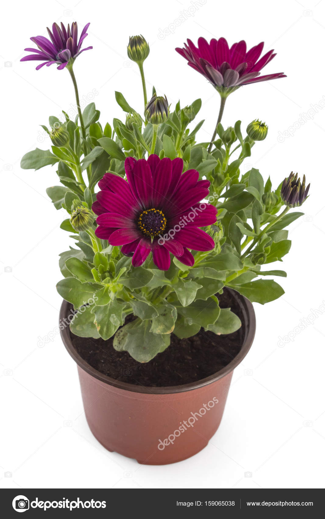 Young garden african daisy stock photo vojislav 159065038 red young garden african daisy flowers with leaves osteospermum symphony in flowerpot on white background photo by vojislav izmirmasajfo