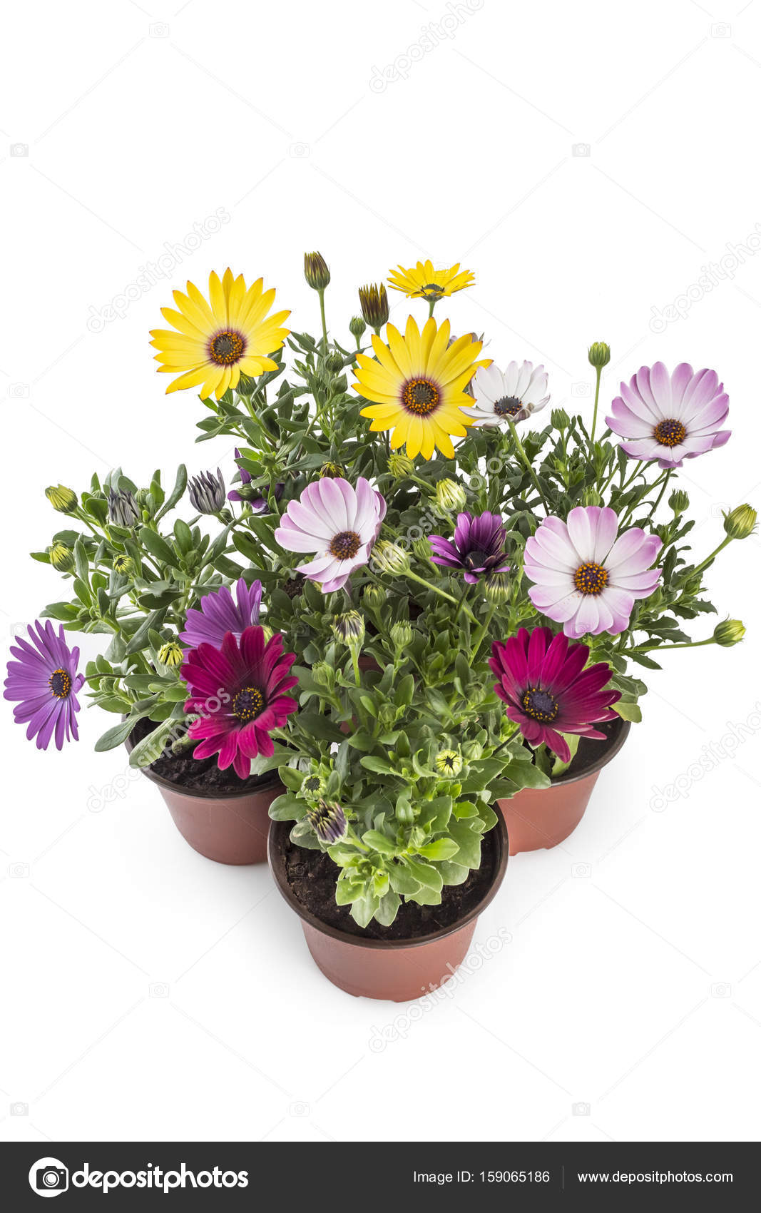 Young garden african daisy stock photo vojislav 159065186 colorful bouquet of young garden african daisy flowers with leaves osteospermum symphony in flowerpot on white background photo by vojislav izmirmasajfo