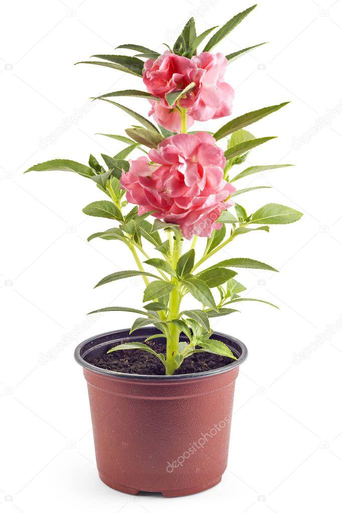 Blooming Garden Balsam
