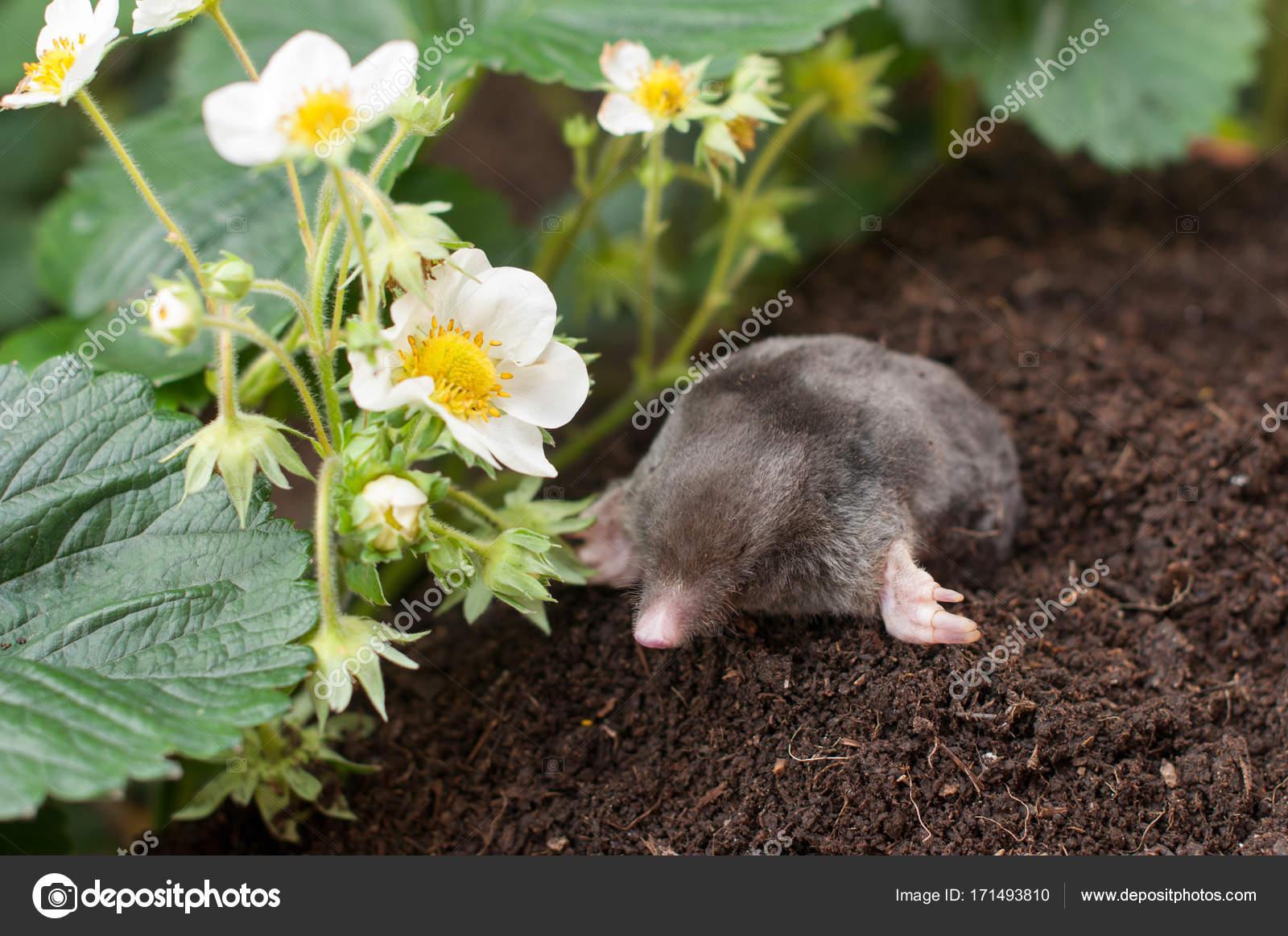 Talpa in giardino u foto stock tchara