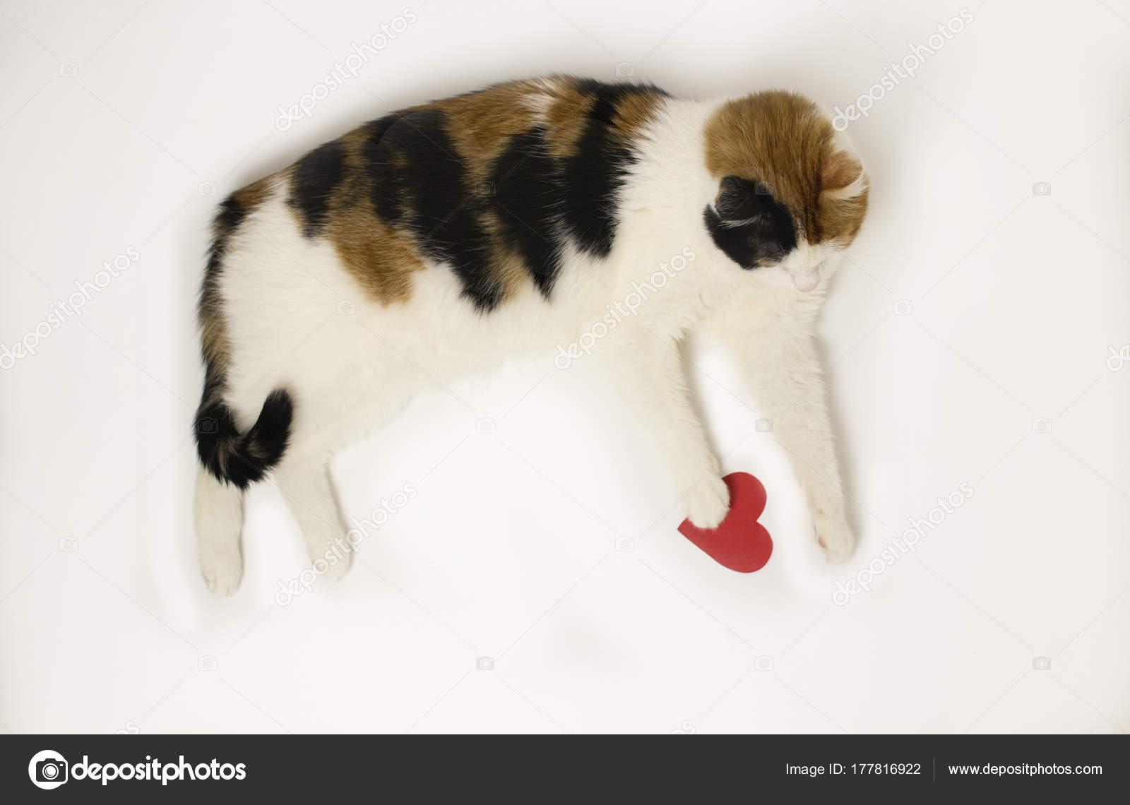 Tre Colorato Gatto Si Trova Su Uno Sfondo Bianco Con Un Cuore Rosso