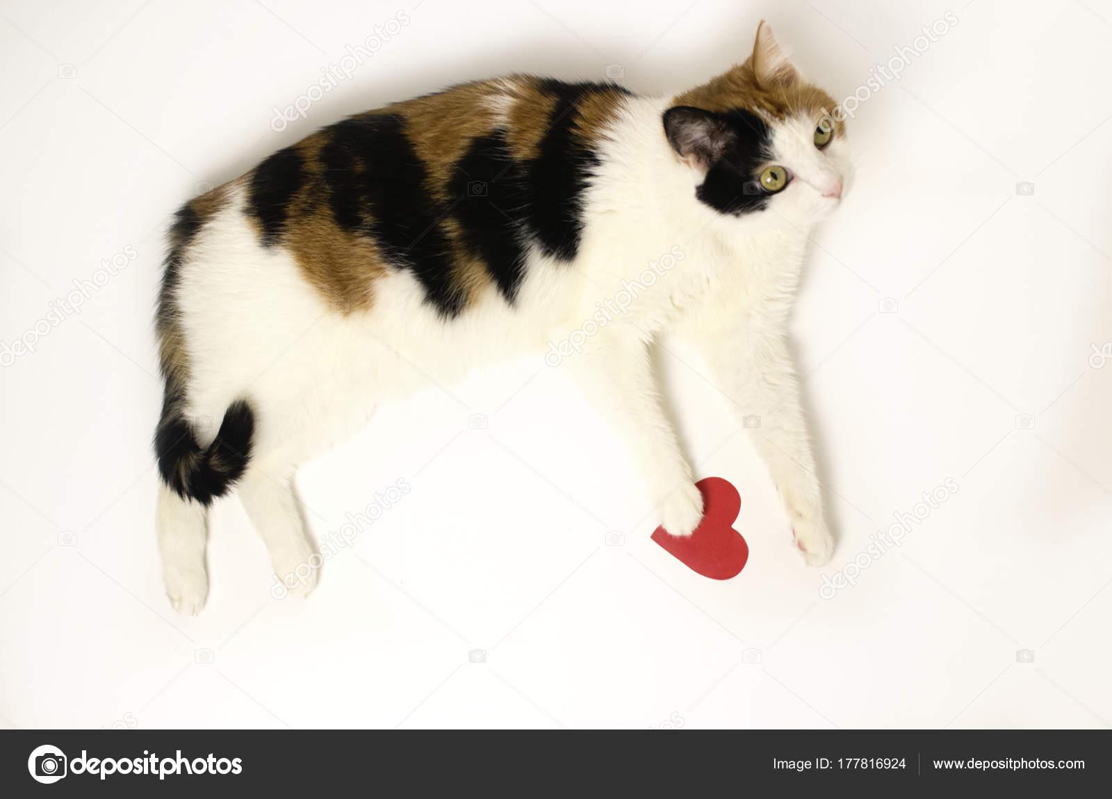 dreifarbige Katze liegt auf einem weißen Hintergrund mit einem roten ...
