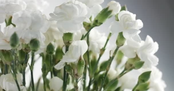 Red and white carnation flower rotation stock video kazzakova red and white carnation flower rotation stock video mightylinksfo