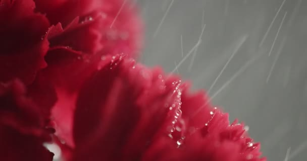 red cornation flowers closeup