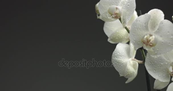 bílá orchidej na černém pozadí