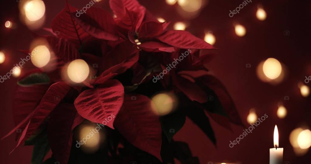 christmas flower with lights around