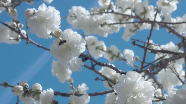 weiße Blumen auf Baum am blauen Himmel mit Bienen — Stockvideo ...