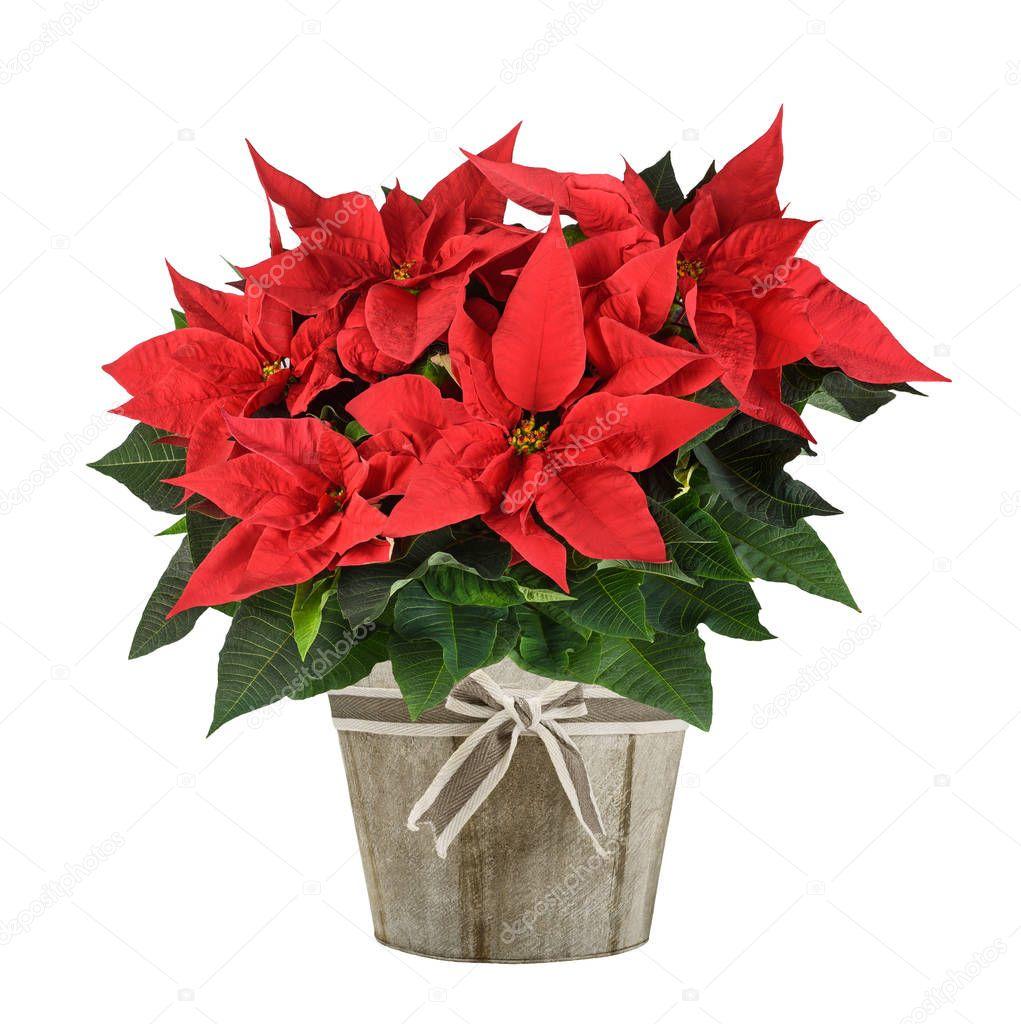 Stella Di Natale Pianta.Vettore Pianta Stella Di Natale Stella Di Natale Pianta In Vaso