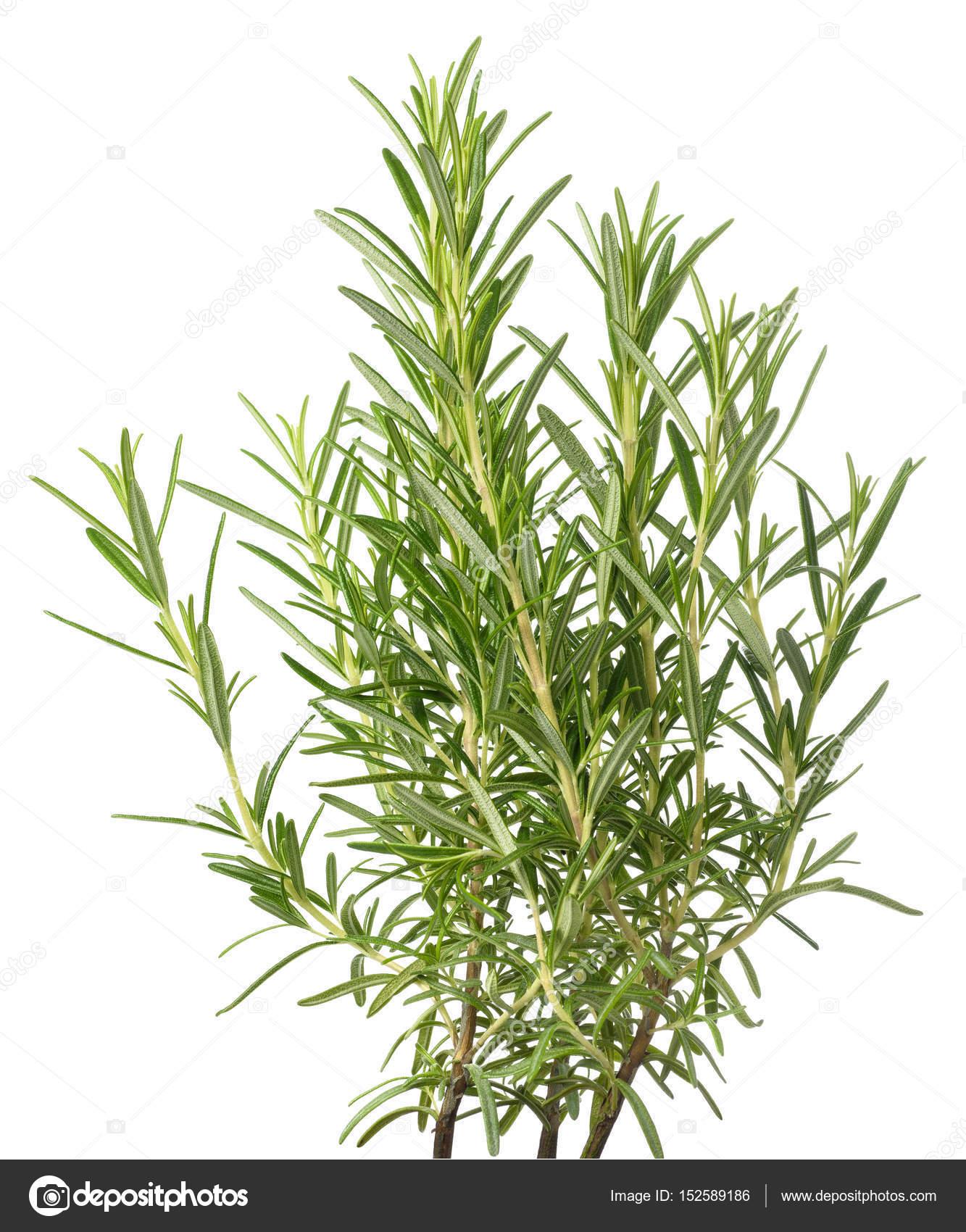 Frischer Rosmarin Pflanzen Stockfoto Scis65 152589186