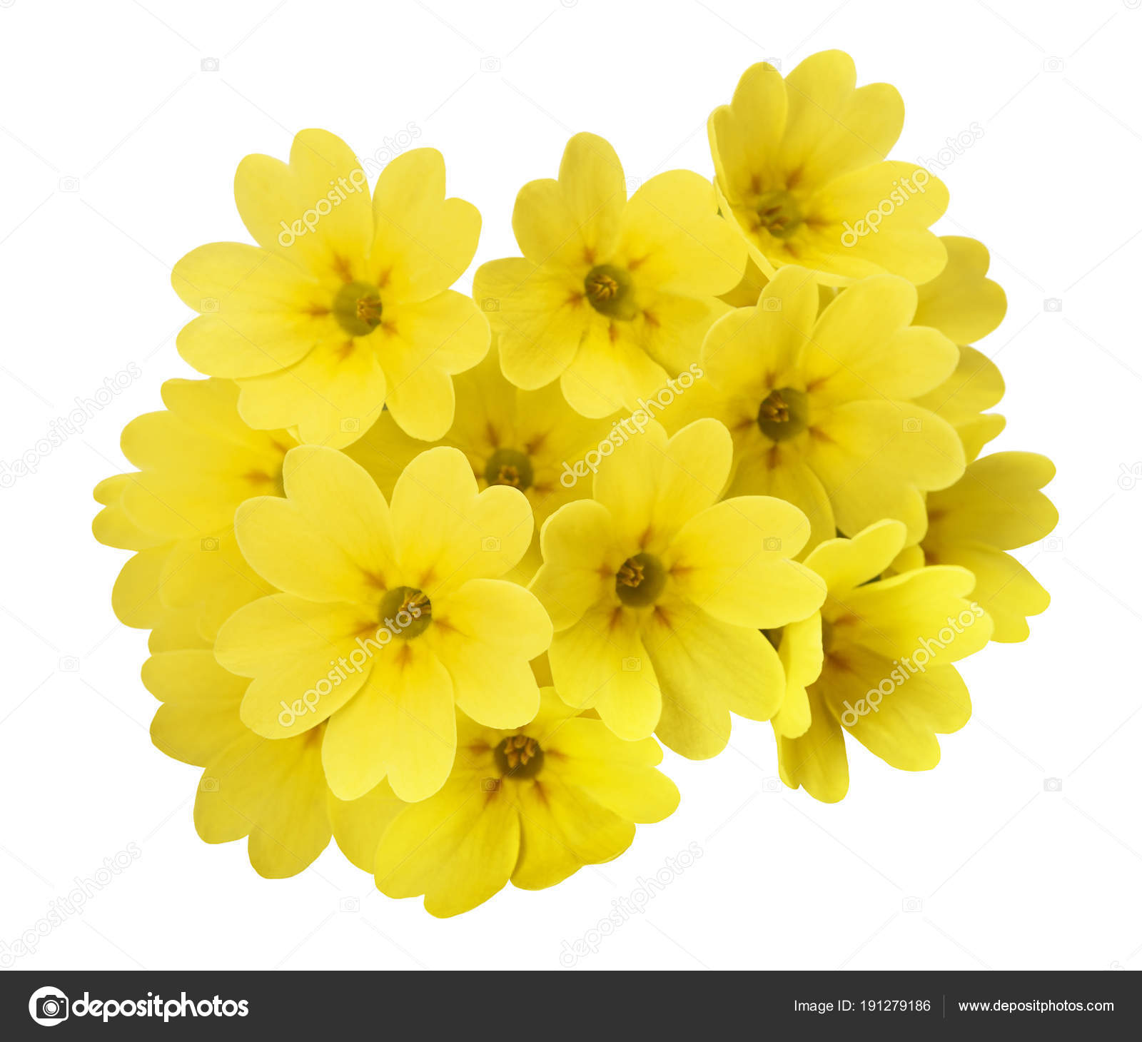 Yellow Primrose Flowers Stock Photo Scis65 191279186