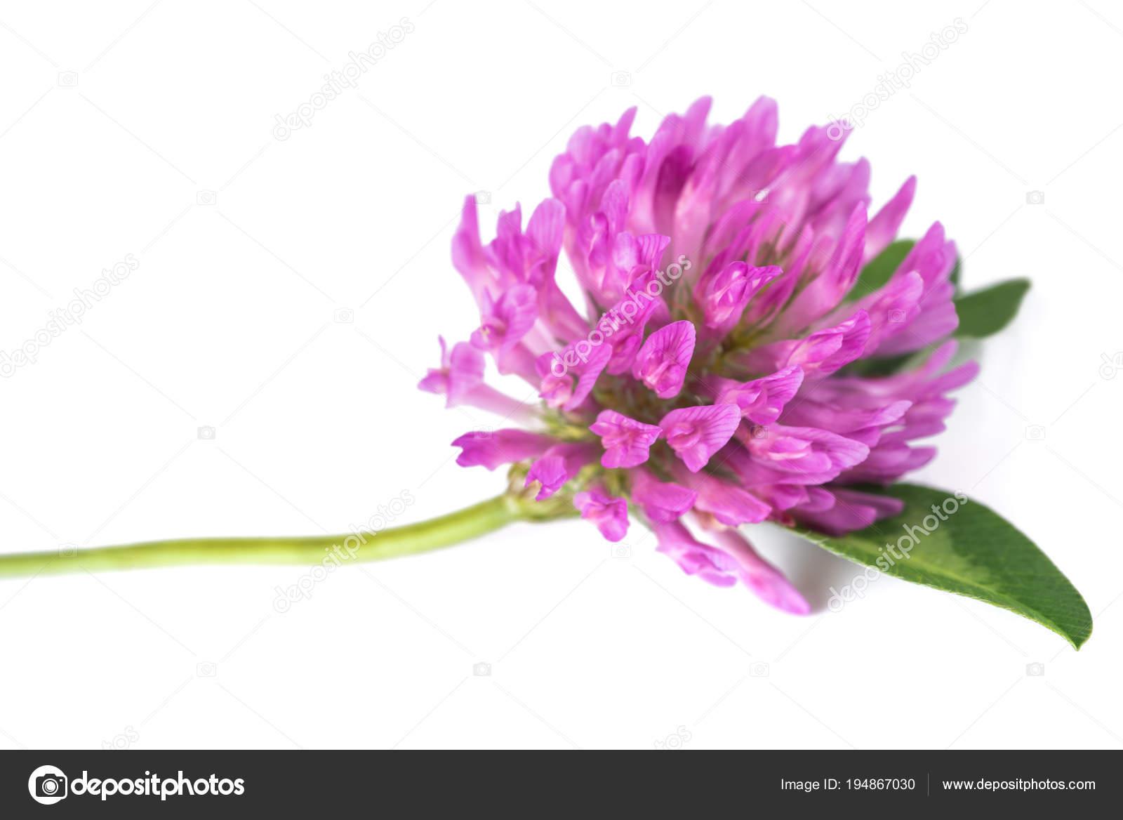 Fleur De Trefle Rouge Photographie Scis65 C 194867030