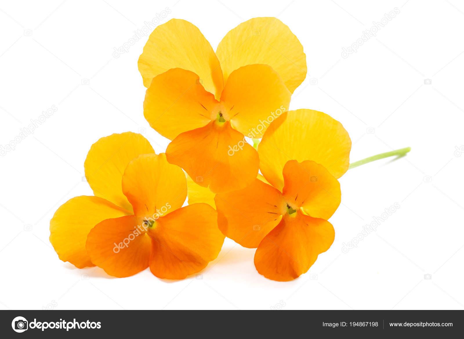 Fleurs De Pensees Orange Photographie Scis65 C 194867198