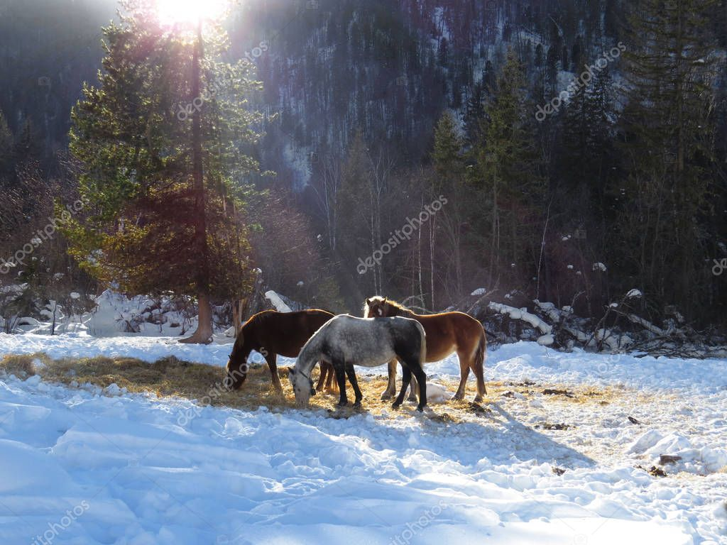Horses in winter in sunlight
