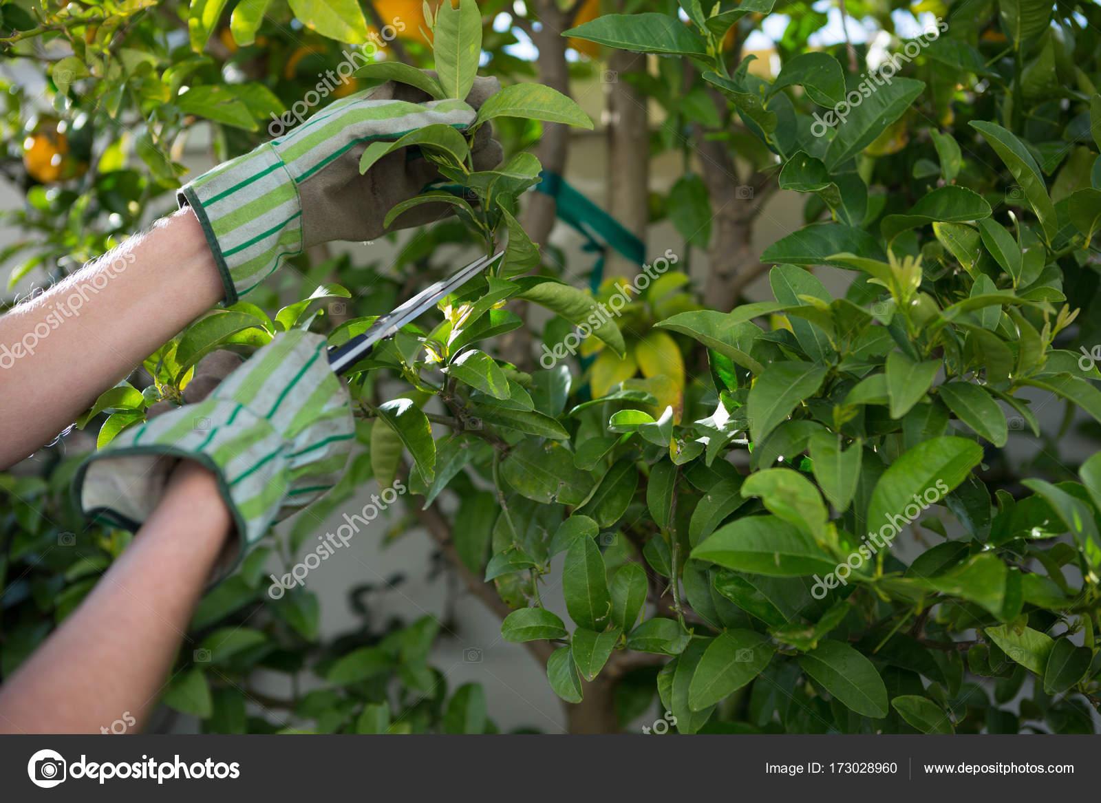 Tuin snoeien vijgen soorten planten snoeien en de vijgen for Tuin snoeien