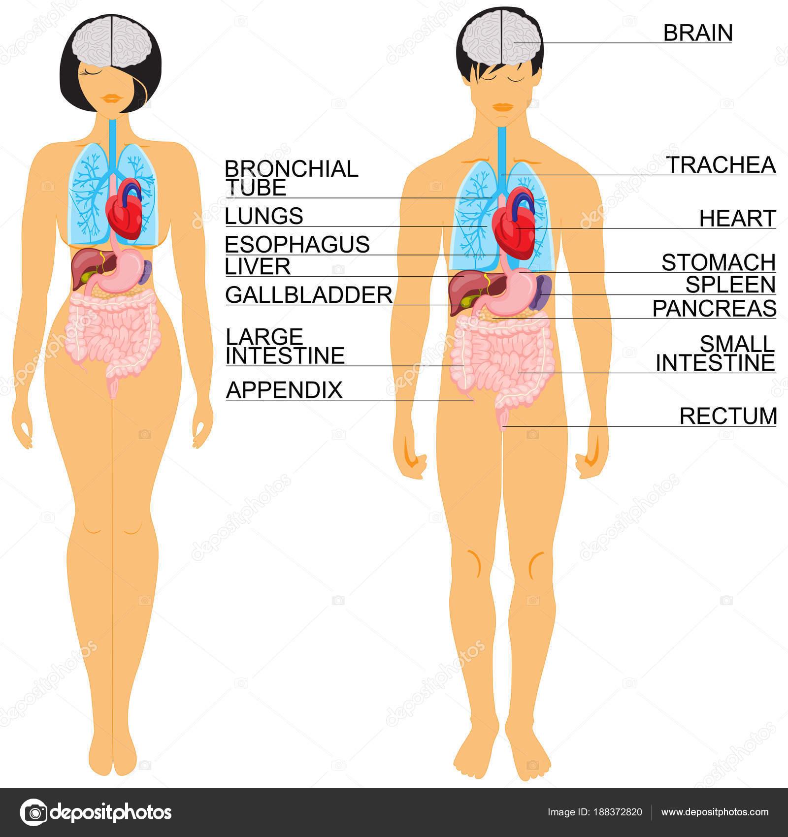 anatomía de cuerpo humano — Archivo Imágenes Vectoriales © laraslk ...