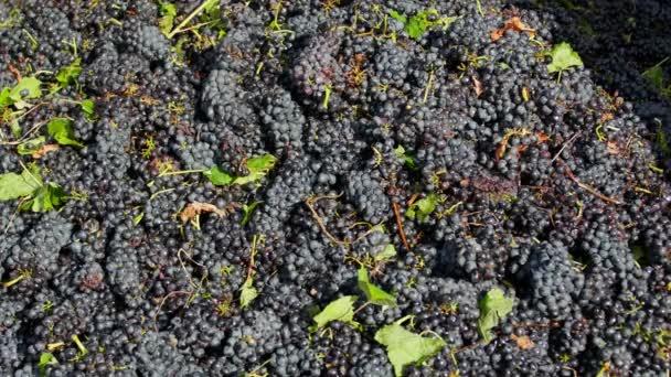 Červené hrozny připraven být stisknuto na vinařství