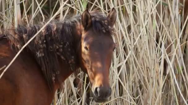 Wild horse in the danube delta