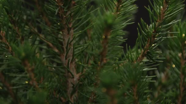 Fir tree isolated on black background